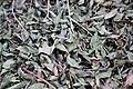 Ericales - Camellia sinensis - 2.jpg