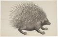 Erinaceus malaccensis - 1700-1880 - Print - Iconographia Zoologica - Special Collections University of Amsterdam - UBA01 IZ20600031.tif