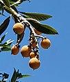 Eriobotrya japonica-fruit-Jerusalem.jpg