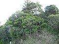 Eriobotrya japonica (Thunb.) Lindl. (AM AK305678-1).jpg