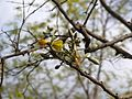 Eriolaena quinquelocularis (7197990768).jpg