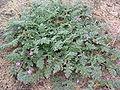 Erodium cicutarium03.jpg