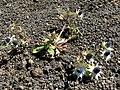 Eryngium carlinae Irazu 1.jpg