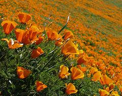 Amapola de California - Photo (c) docentjoyce, algunos derechos reservados (CC BY)