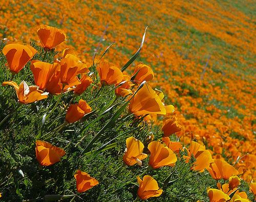 500px eschscholzia californica (2)