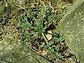 Eschscholzia californica 2019-04-16 0213.jpg