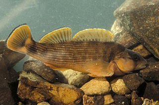 Orangefin darter species of fish