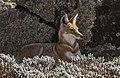 Ethiopian wolf (Canis simensis citernii) 2.jpg