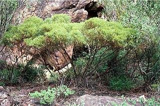 <i>Eucalyptus insularis</i> species of plant