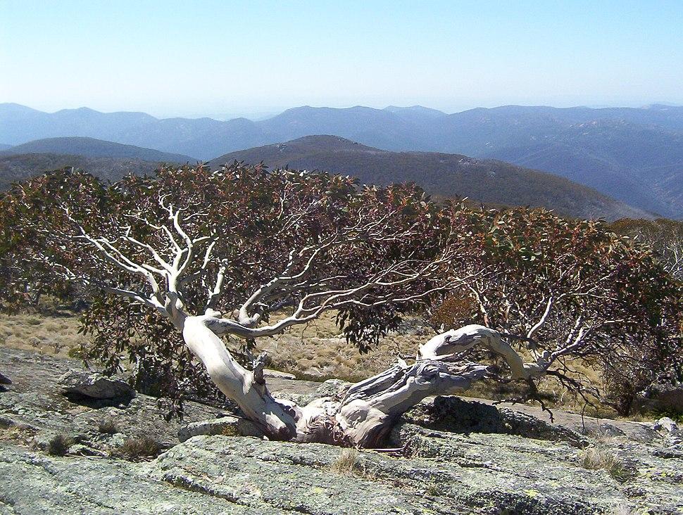 Eucalyptus niphophila - Mount Ginini - Namadgi National Park