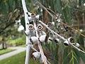 Eucalyptus perrinana 02.jpg