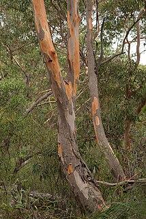 <i>Eucalyptus punctata</i> species of plant