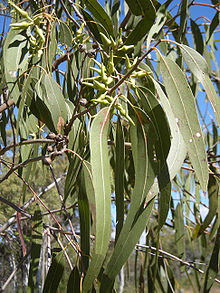 Buds, capsules and foliage of Eucalyptus terticornis
