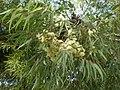 Eucalyptus wandoo 1c.JPG