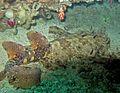 Eucrossorhinus dasypogon kings garden.jpg