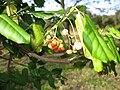 Euonymus fortunei 2.JPG