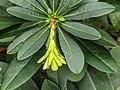 Euphorbia amygdaloides var. robbiae. 06-02-2020. (d.j.b) 03.jpg