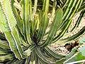Euphorbia avasmontana.jpg