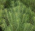 Euphorbia cyparissias 07 ies.jpg