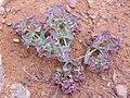 Euphorbia falcata subsp. rubra Habito 2010-6-15 DehesaBoyaldePuertollano.jpg