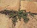 Euphorbia maculata plant3 (16180597798).jpg