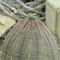 Euphorbia obesa-IMG 6874.jpg