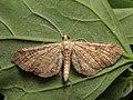 Eupithecia simpliciata - Plain pug - Цветочная пяденица лебедовая (40241769514).jpg