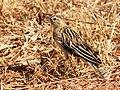 Euplectes progne, non-br ♂, near Centurion, Gauteng, South Africa-8.jpg