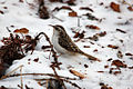 Eurasian Treecreeper in the snow.jpg