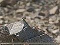 European Roller (Coracias garrulus) (30949072694).jpg