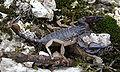 Euscorpius Southern France1.jpg