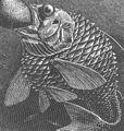 FMIB 46937 Effet de la decompression sur un poisson - Neoscopelus macrolepidotus (Joohns) pris a 1,500 metres de profondeur et arrivant a.jpeg
