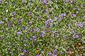 Fabaceae sp.-CTJ-IMG 6336.jpg