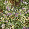 Fabaceae sp.-CTJ-IMG 6682.jpg
