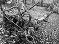 Fallen birch (8105239418).jpg