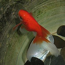 A red and silver goldfish, with a long fancy tail, facing left