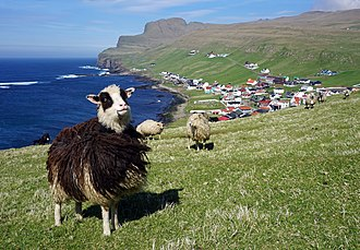 Faroe sheep with the town of Sumba in the background Faroese sheep Sumba 1.jpg