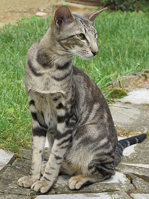Oriental Shorthair - Green-eyed blotched tabby Oriental adult