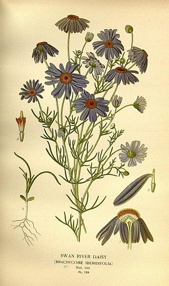 Brachyscome iberidifolia - Brachyscome iberidifolia