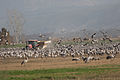 Feeding Common crane in Hula Valley, Israel.jpg