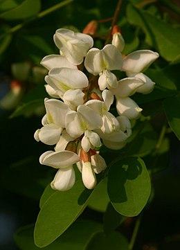 A fehér akác virágzata