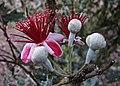 Feijoa unusual flowers (6225447171).jpg