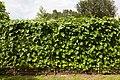 Feixons - Judias - Beans - Phaseolus vulgaris - 02.jpg