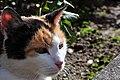 Felis silvestris catus - Rapperswil Duftrosengarten 2010-08-29 16-20-34.JPG