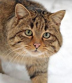 Resultado de imagem para gatos tigrados amarronzados