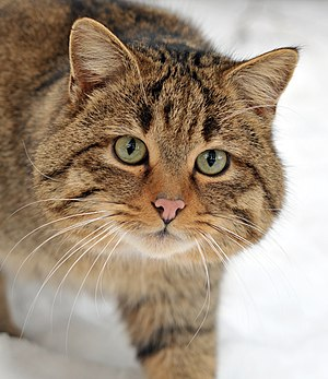 European wildcat - Closeup of head, Germany