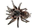 Female Grammostola vachoni.jpg