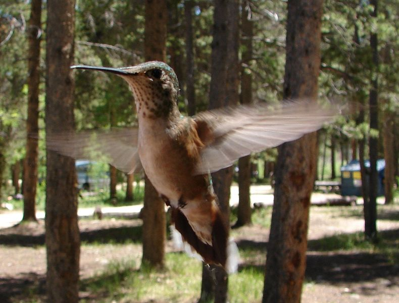 Īxiptli:Female Ruby-Throated Hummingbird in Flight.jpg