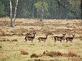 Female deer at Deelerwoud at 17 October 2015 - panoramio.jpg