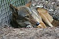 Female red wolf from St. Vincent prior to release at Alligator River (6350505285).jpg